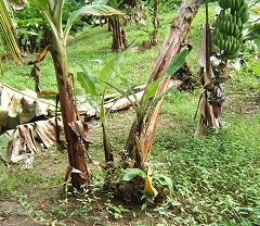young and fallen banana plants