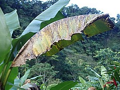 banana leaf infected with black sigatoa