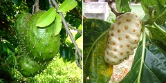 soursop + noni both help prevent and treat cancer