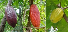 cocoa pods - there's plenty of it still around. A chocolate factory is what is needed